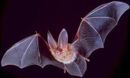 Townsend's big-eared bat in flight.