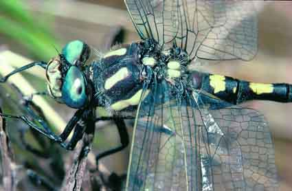 Blue-eyed dragonfly: a male Pacific spiketail.