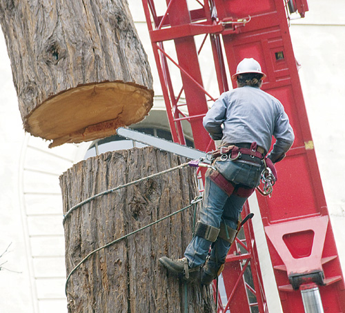 A lone contract worker, armed with a chainsaw to cut the last tree to go at the stadium grove.