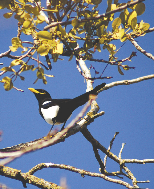 A yellow-billed magpie, so far untested in the lab.