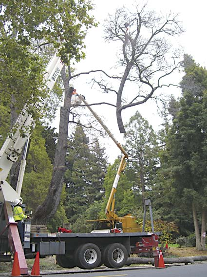 A nearly century-old black acacia tree in Live Oak Park, for years home to a family of Cooper's hawks, was chopped down Saturday. Photograph by David Gelles.