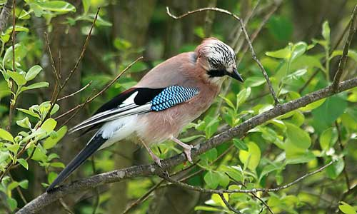 Eurasian Jay in Berlin: a post-Cold War winner.