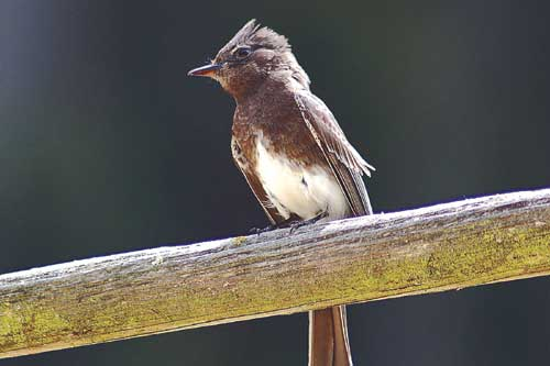 A black phoebe near its nest at Tilden Regional Park's Little Farm.
