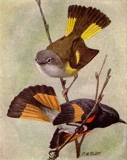 Female (top) and male American redstarts