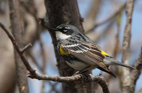 Myrtle warbler: a parent species?