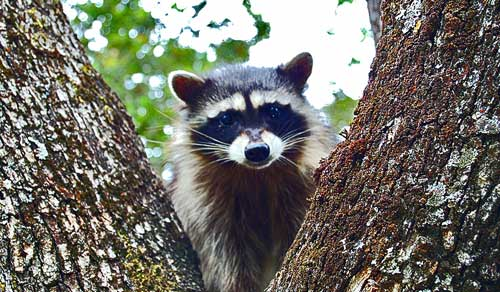 Raccoon up an oak tree, displaying social skills, Mount Diablo.