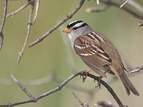 Local white-crowned sparrow: getting larger?