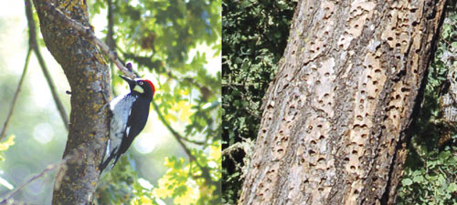 An acorn woodpecker and a colony's granary tree.