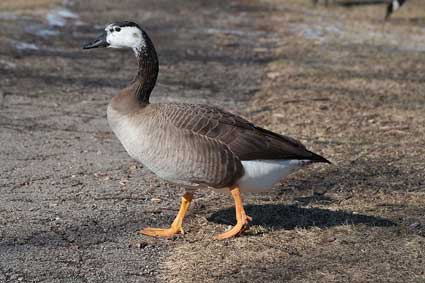 The hybrid offspring of a Canada goose and a domestic goose.
