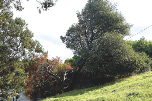 A live-oak in China Camp, dying by degrees. This is one of the places hardest-hit by SOD, but there are still live live-oaks who just might be a basis for species survival.