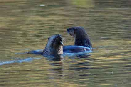 Two otters at the Jewel Lake Buffet, Tilden Park. They spent three or four days noshing, then took off for parts unknown.